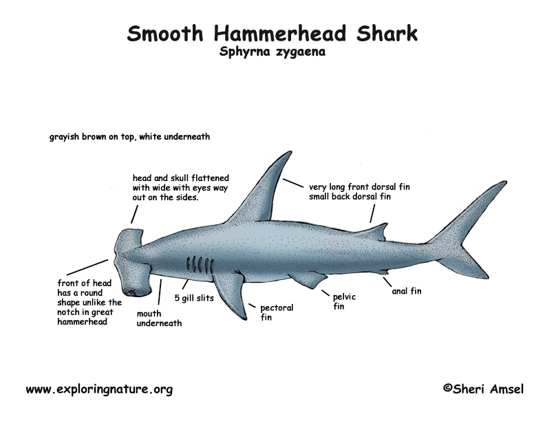 Anatomy The Great Hammerhead
